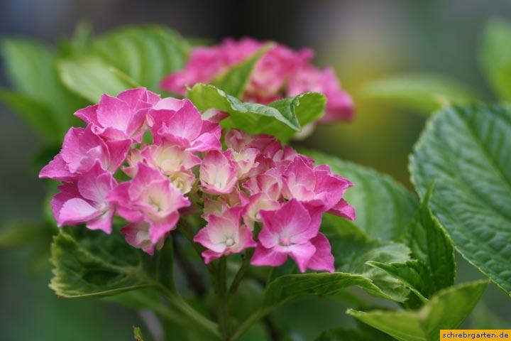 hortensienblueten-1