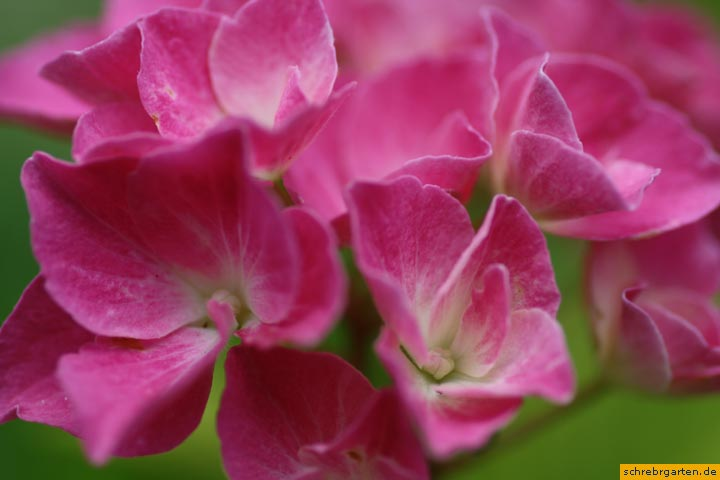 hortensienblueten-3