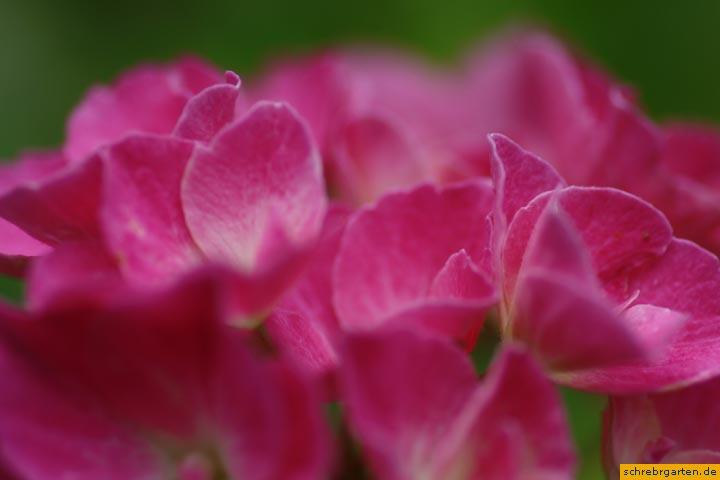 hortensienblueten-4