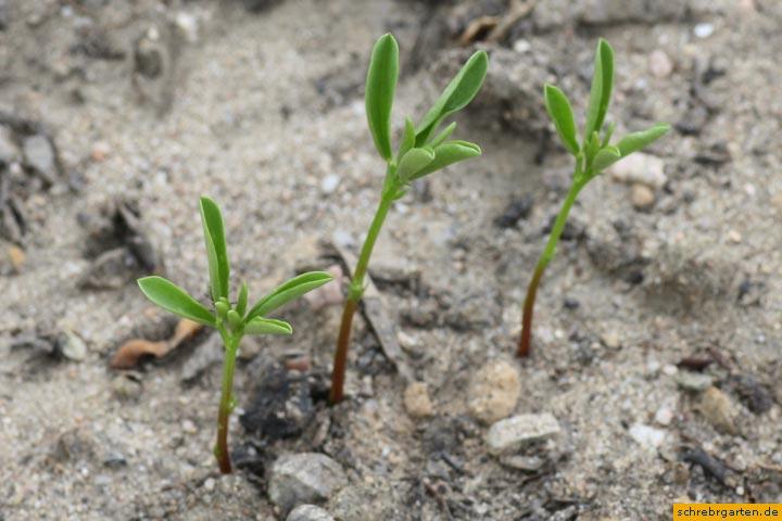 linsen-pflanzen