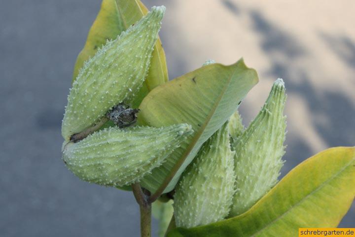 seidenpflanze samenkapseln