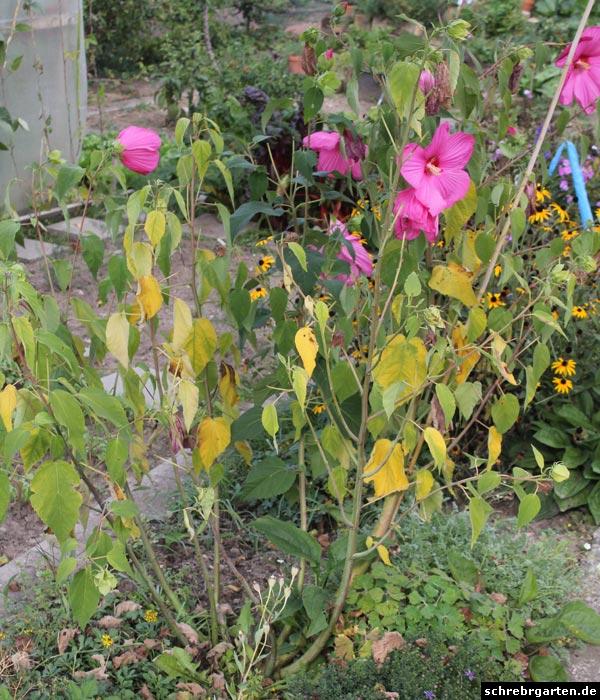 Hibiscus sp