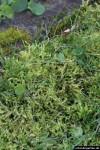 Moos im Rasen